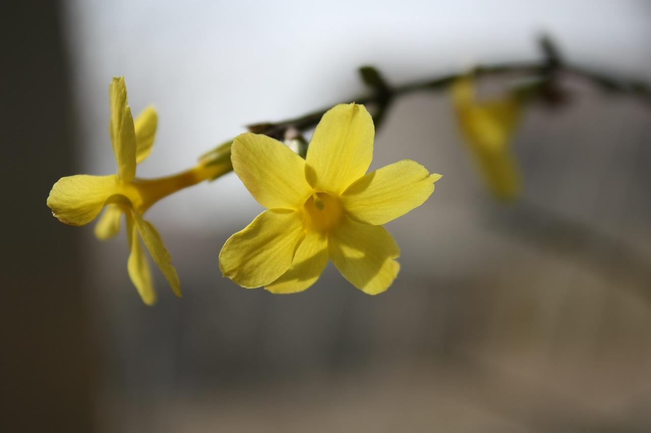 Bouture du jasmin d'hiver : matériel, saison découvrez nos conseils