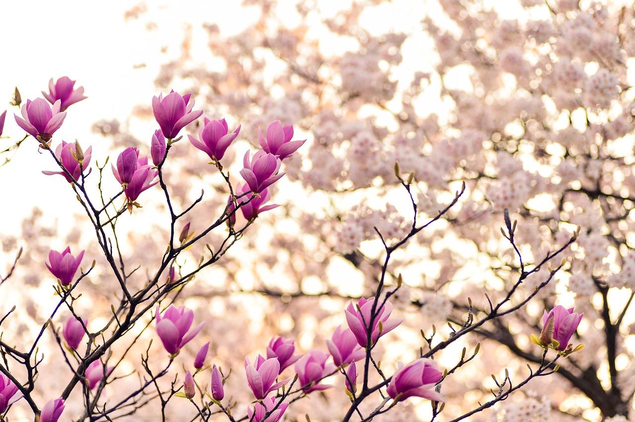 Bouturer le Magnolia, comment bien s'y prendre