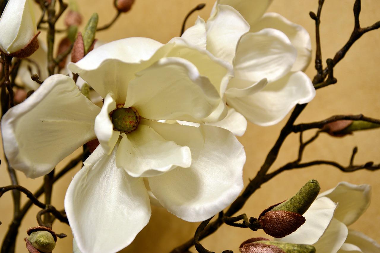 C'est tellement beau une tulipe magnolia, j'adore