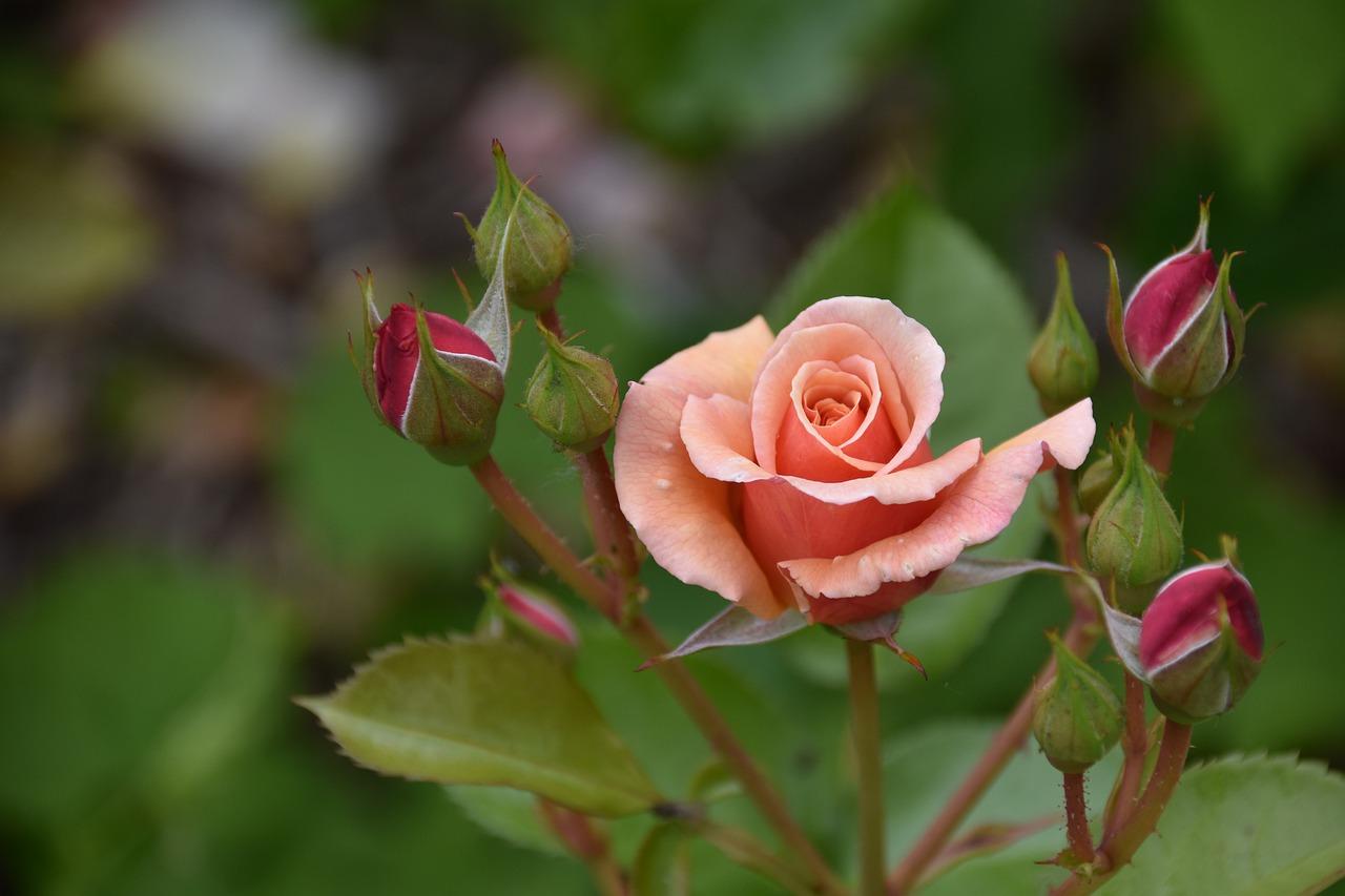 Nos conseils pour bien s'occuper d'un rosier