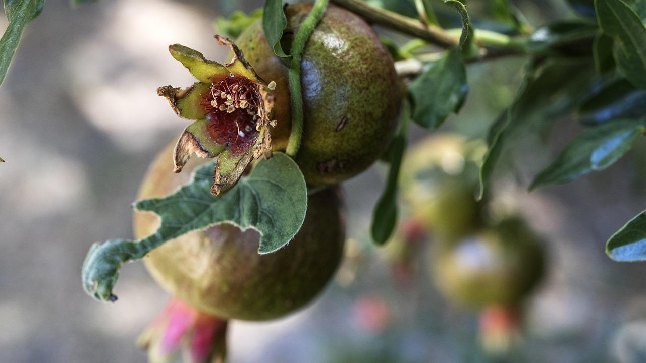 Punica c'est une belle plante
