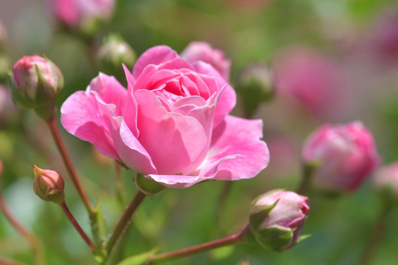 type-de-rosier